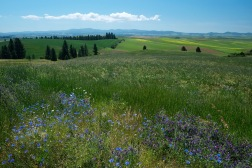 Palouse fields and flowers | Washington