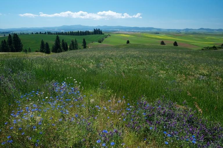 Palouse fields and flowers   Washington