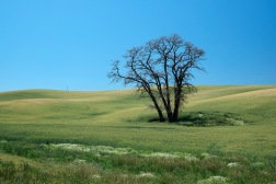 Lone Tree, Palouse | Washington