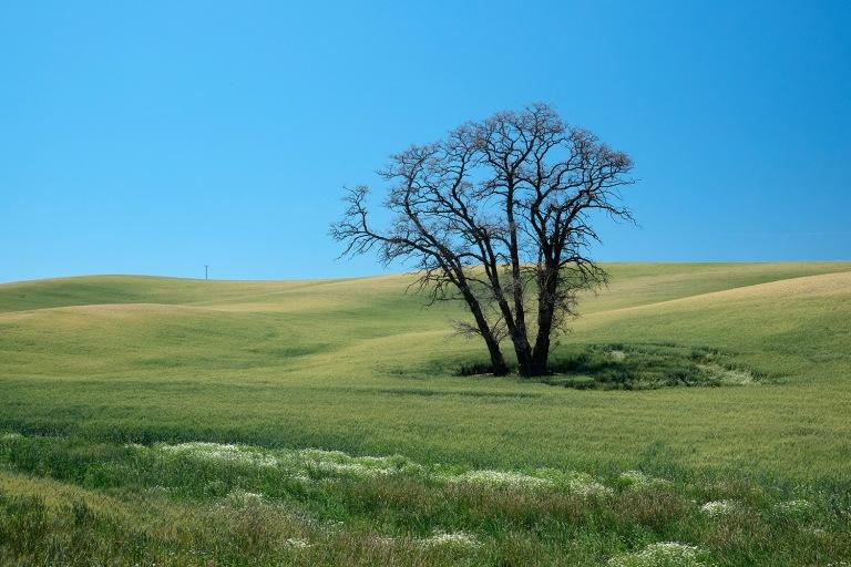 Lone Tree, Palouse   Washington
