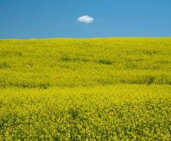 Lone cloud over canola field | Palouse, Washington