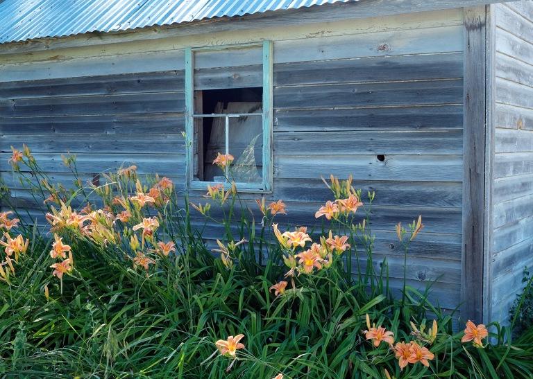 Old shed and lilies   Palouse, Washington